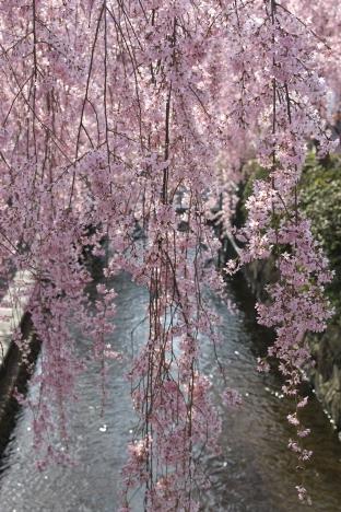 Cherry Blossom, Utsunomiya