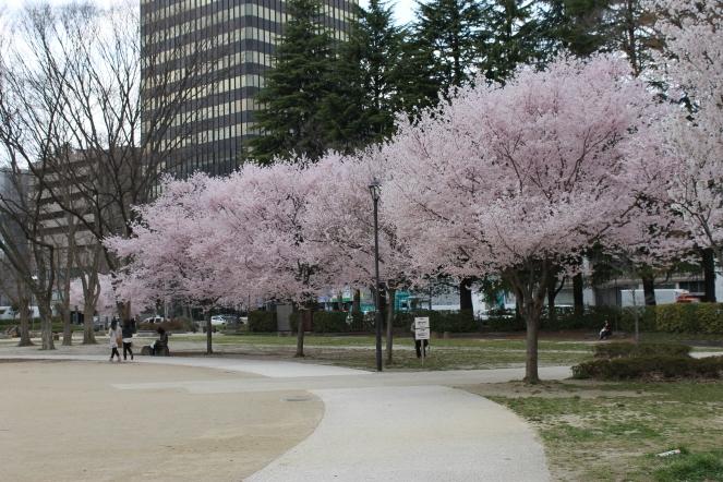 Sendai Cherry Blossom