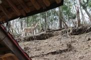 Deer, Kamaishi